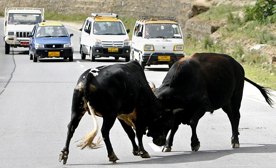 10) Быки дерутся посреди шоссе в Тхимпху, Бутан, четверг. (Singye Wangchuk/Reuters)