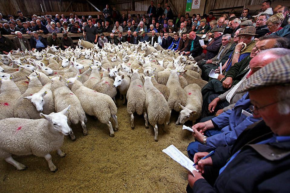 14) Фермеры собрались на ежегодной ярмарке по продаже овец в шотландском городе Lairg, в среду. Это -  крупнейшая однодневная распродажа скота в Европе. (Jeff J. Mitchell/Getty Images)