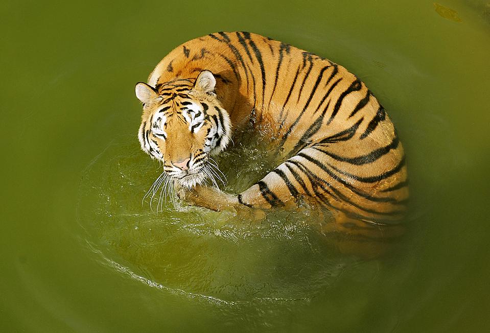 7) Тигр спасается от летнего зноя в зоопарке города Хэфэй, китайская провинция Аньхой. (Agence France-Presse/Getty Images)
