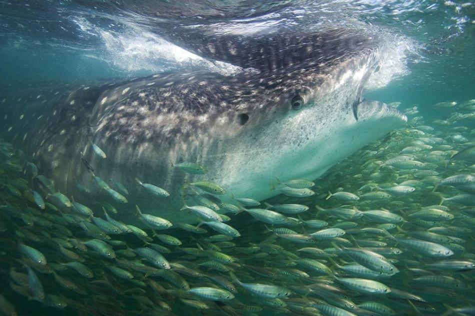 10) Китовая акула против сардин в Индийском океане, остров Мафия, Танзания. Рассказывает автор снимка, фотограф Мэттью Потенски: «Фотографируя для исследователей, я обычно возвращался с монотонными техническими снимками китовых акул. Было приятно оказаться в воде с камерой и попытаться сделать «симпатичную» фотографию». (Matthew Potenski, Nature's Best Photography)