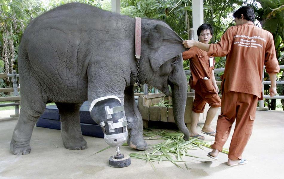 1. Моша, трехлетняя слониха, когда-то подорвавшаяся на мине, несколько лет назад стала первым слоном с искусственным протезом. Он и 48-летний слон Мотола получили протезы в больнице для слонов в провинции Лампанг, северный Таиланд, 15 августа. (Apichart Weerawong, AP)