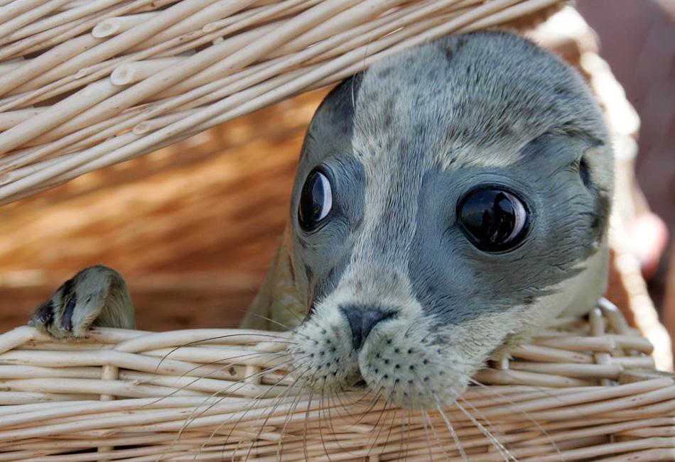 13. Детеныш тюленя по имени Калли выглядывает из корзины в Нордайхе, Германия, 6 августа. Всего в местном селекционном центре содержится 71 брошенный тюлень, и пять детенышей, включая Калли, выпускают на свободу в их естественную среду обитания. (Joerg Sarbach, AP)