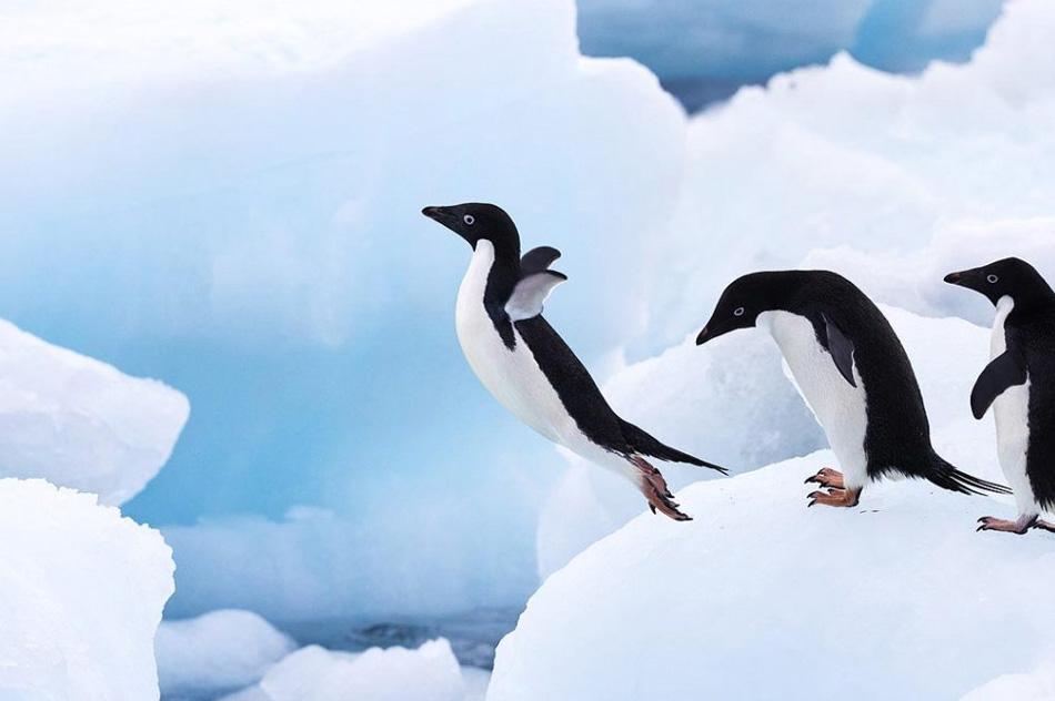 13) Пингвины Адели на Антарктическом полуострове в Антарктике. «Я увидел группу пингвинов Адели, выстроившихся друг за другом в ожидании своей очереди для прыжка. У меня было всего несколько секунд, чтобы достать камеру, установить штатив и сделать этот снимок». (Stephen Belcher, Nature's Best Photography)