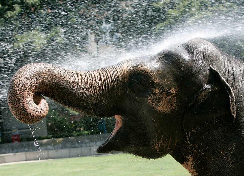 15. Слон охлаждается в зоопарке Белграда, Сербия, 24 июля. (Darko Vojinovic/AP)