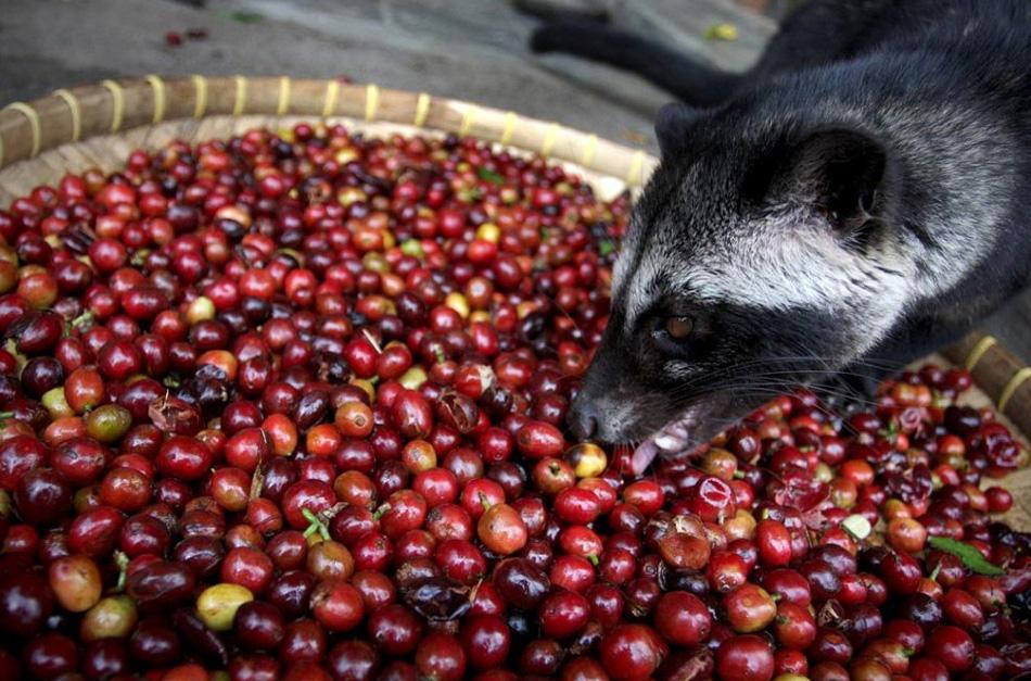 1) Самый дорогой сорт кофе в мире производят на Восточной Яве, неподалеку от индонезийского города Сурабая. Этот кофе делают с помощью пальмовой циветты, небольшого древесного зверька, похожего на белку. Этот сорт, известный также под названием «Kopi Luwak», производится весьма необычным способом. Циветты поедают плоды кофейного дерева, которые проходят через желудочно-кишечный тракт зверька и выходят вместе с экскрементами не переваренными. (Ulet Ifansasti/Getty Images)