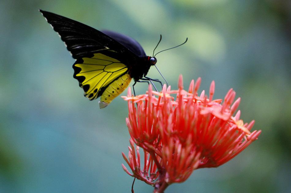 20. Бабочка-парусник нависла над цветком в парке для бабочек Куала-Лумпур в Малайзии 2 августа. В парке есть более 15 000 растений из 100 семейств, а сам парк напоминает тропический лес Малайзии. (Mark Baker, AP)