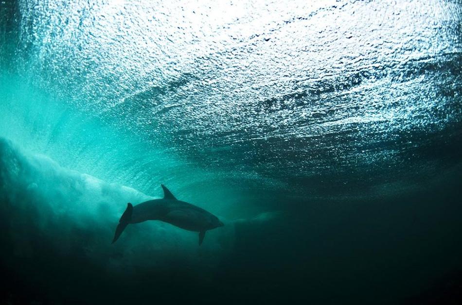 2) На этом снимке бутылконос плавает в Атлантическом океане у западного побережья Ирландии. Рассказывает фотограф Джордж Карбус: «Вид дельфина на фоне этой волны был потрясающим. Проведя два часа под водой в довольно трудных световых условиях я, наконец, сделал этот отличный четкий снимок». (George Karbus, Nature's Best Photography)