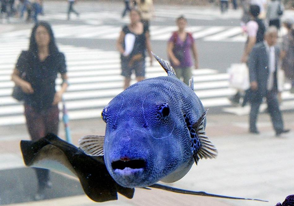 24. Посетители наблюдают за звездчатым иглобрюхом и другими тропическими рыбами из моря Окинава, плавающим в аквариуме возле здания компании «Sony» в торговом районе Токио Гинза 10 августа. (Shuji Kajiyama, AP)