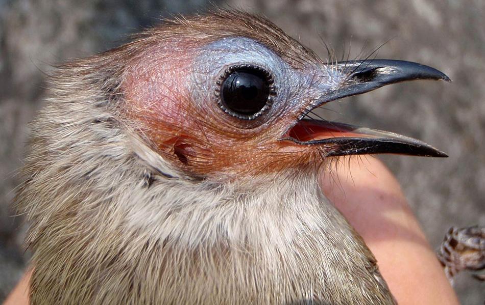 25. «Лысая» птица, в Лаосе, является первым обнаруженным за более чем 100 лет представителем нового вида соловья, как заявило Общество защиты дикой природы 30 июля 2009 года. (Iain Woxvold, AFP / Getty Images)