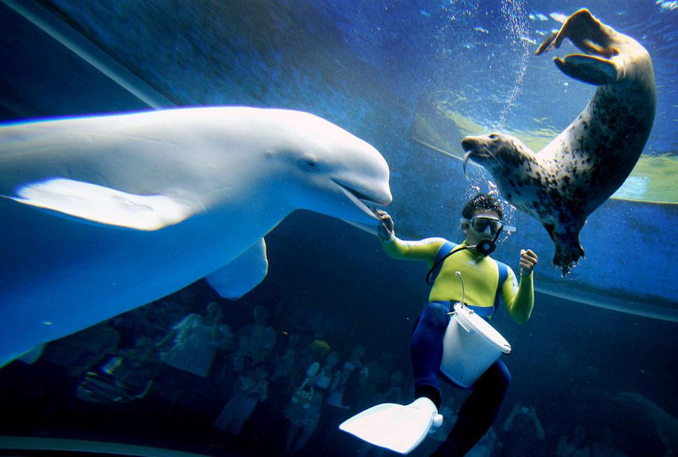 26. Дайвер кормит белого кита и тюленя в аквариуме парка «Морской Рай» и развлекательном парке Иокогама в Японии 19 июля. (Itsuo Inouye/AP)
