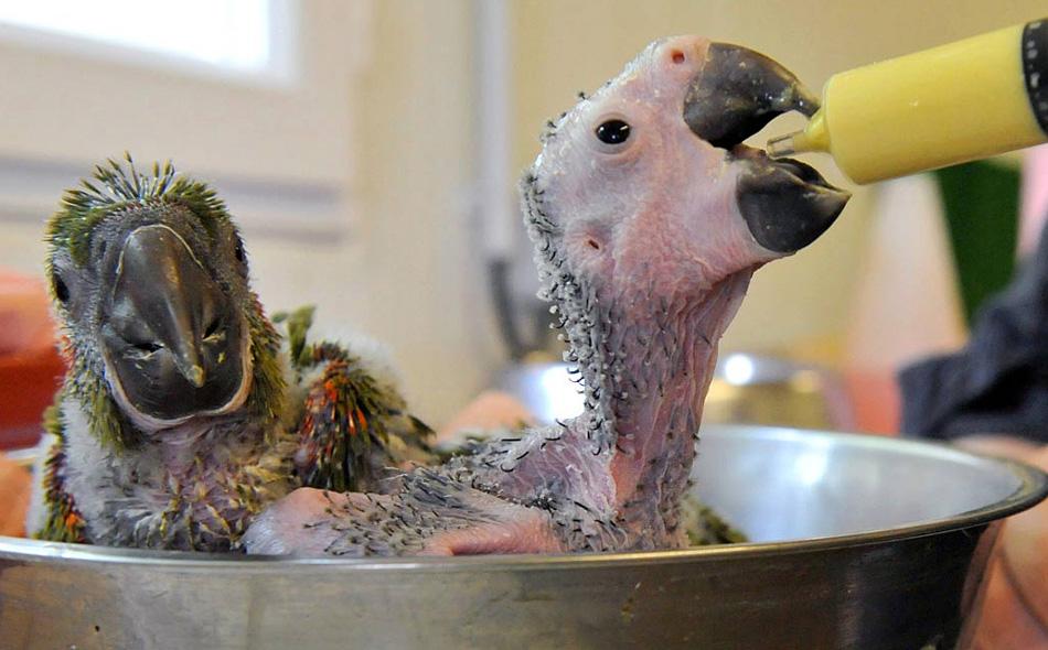 26. Двух новорожденных попугаев ара кормят в зоопарке «Жюрк» во Франции 29 июля. Ара – вымирающий вид, на сегодняшний день на воле их осталось около 1000. (Mychele Daniau, AFP / Getty Images)