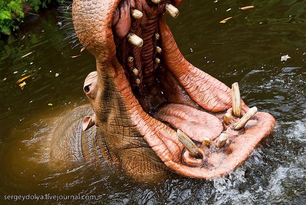 26) Огромные бегемоты проплывают совсем рядом.