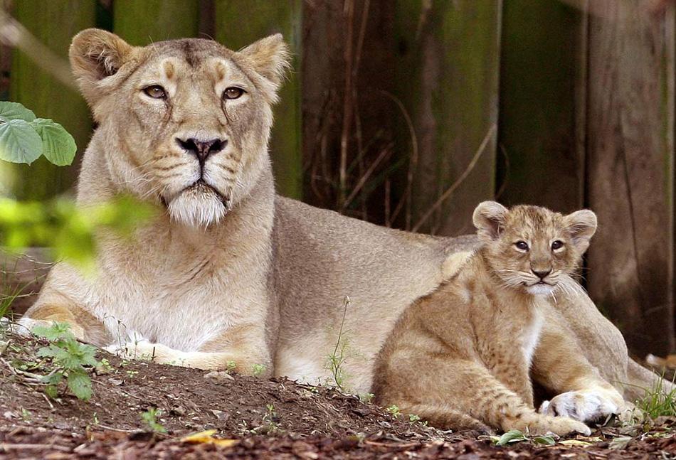 2. Аби, азиатская львица, с одним из своих 10-недельных детенышей в Лондонском зоопарке 13 августа. Это были первые львята, родившиеся в зоопарке за последние 10 лет. (Kirsty Wigglesworth, AP)