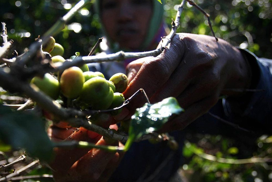 2) The farmers collect the fruit of the coffee tree plantations of East Java.  Coffee berries are collected in the traditional manner, after which they were fed civet.  Once the coffee beans are located together with the excrement, their cleaned, dried and lightly fried.  (Ulet Ifansasti / Getty Images)