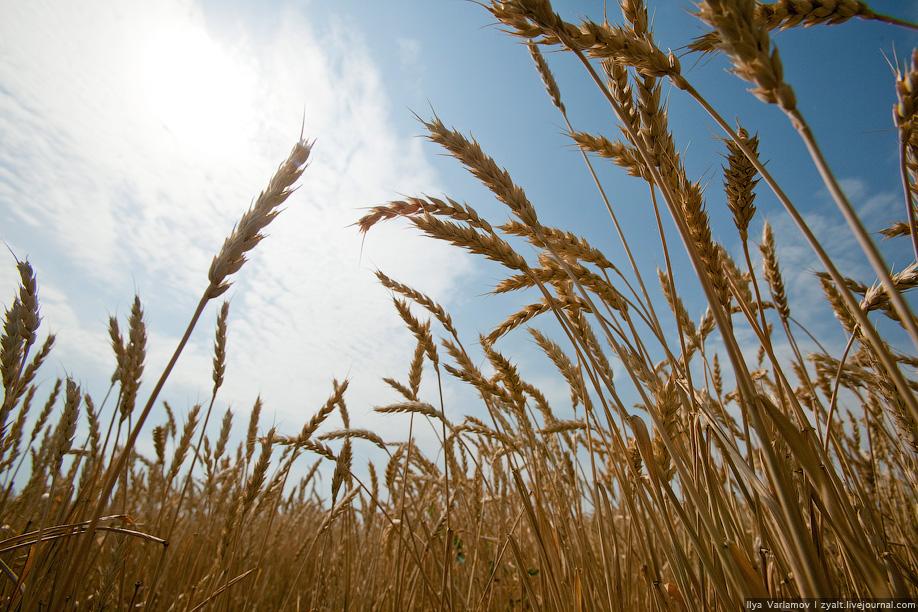 21) А пшеница колосится.