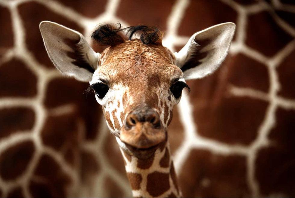 33. Пятидневный малыш-жираф рядом с мамой Денизой в зоопарке Рамат-Гана, Израиль, 15 июля. Эта кроха – 11 детеныш Денизы, что стало мировым рекордом для жирафа в неволе. (David Silverman/Getty Images)