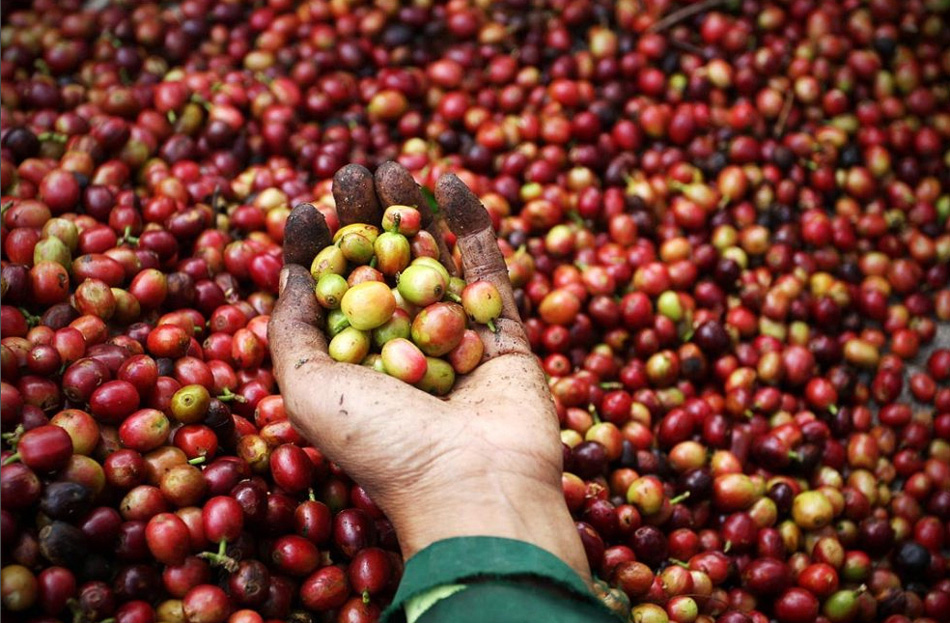 3) A farmer sorts the coffee fruit and selects those that are deemed unfit for production.  Coffee derived from Indonesian tsivettslavitsya its delicate flavor, and the only enzymes in the stomach civet, give coffee especially mild taste.  The retail price for a pound of the coffee ranges from $ 100 to $ 600. (Ulet Ifansasti / Getty Images)