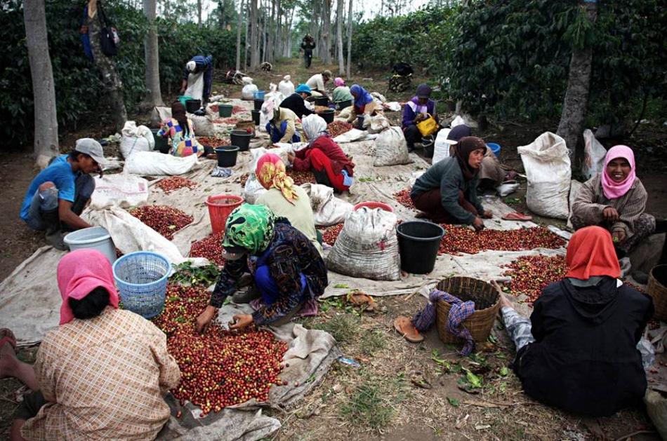 4) Поставка кофе сорта «Kopi Luwak» весьма ограничена: каждый год на рынок попадает всего лишь около 1000 фунтов. В «Heritage Tea Rooms», небольшой кофейне возле австралийского города Таунсвилл, этот сорт кофе подают за $ 50 австралийских долларов за чашку, что составляет около $ 33 долларов США. (Ulet Ifansasti/Getty Images)
