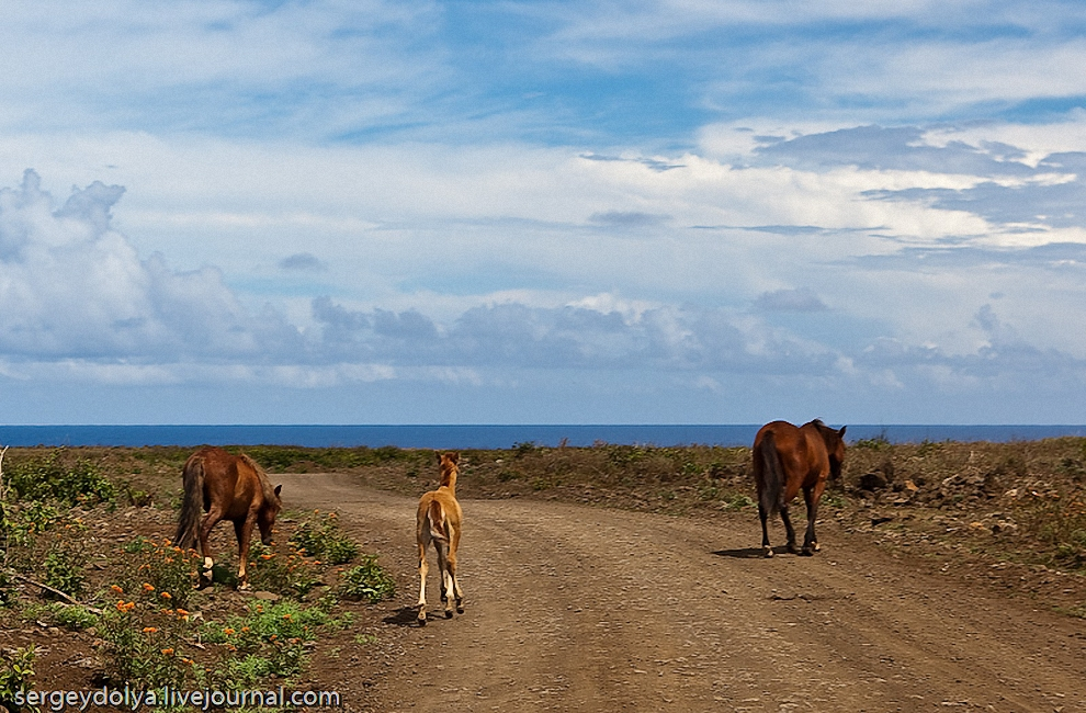 42) Лошади спокойно бродят по всему острову, частенько перекрывая движение.