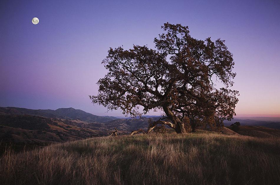 4) Полная луна возвышается над дубом на этом снимке, сделанном в ноябре 2006 года в долине Александр, Сонома Каунти, штат Калифорния. Почему в ноябре полнолуние носит название луна бобра? В «Альманахе фермера» говорится, что это название относится ко времени года, когда бобры активнее всего готовятся к зиме. Она также имеет название Морозная Луна. (George Rose, Getty Images)