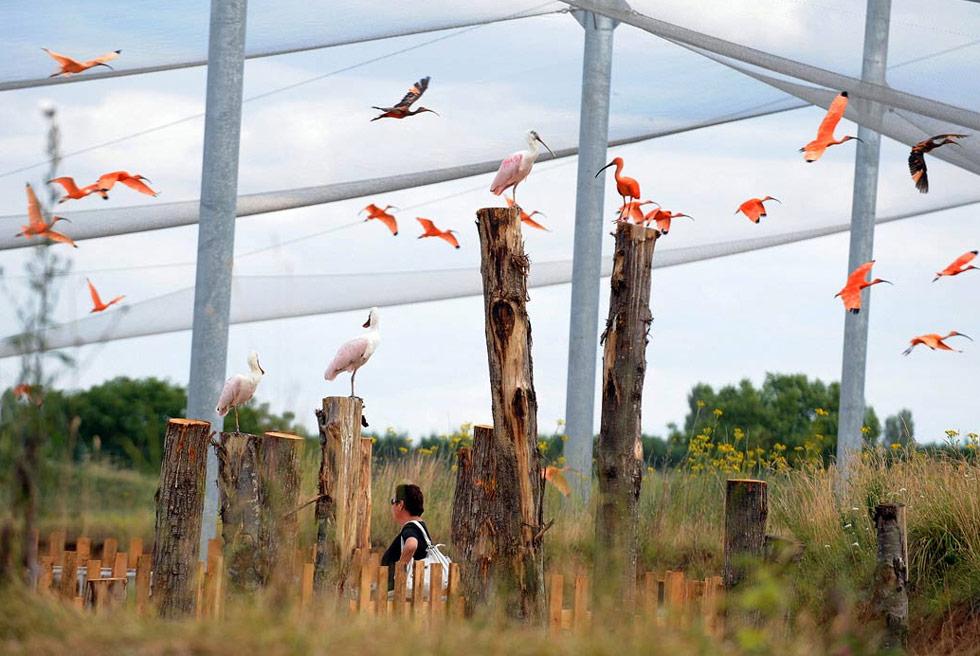 8) Ибисы летают вокруг клетки в парке Зоолоджик в центральной Франции 9 июля. (Frank Perry/AFP /Getty Images)