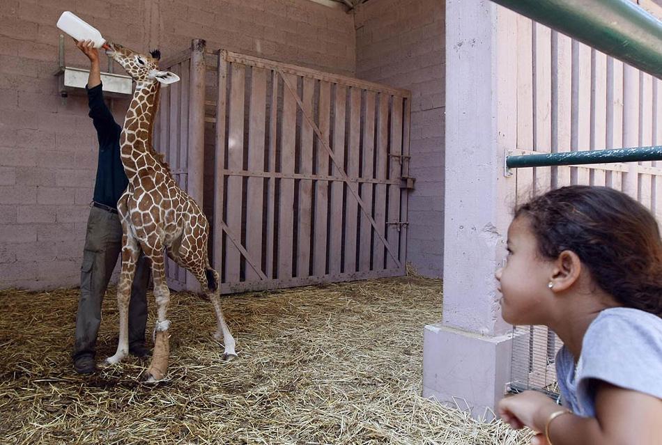 5. Израильская девочка наблюдает, как работник зоопарка кормит восьмидневного детеныша жирафа Дарвина в зоопарке «Рамат Ганн Сафари» в Израиле 10 августа. (Jack Guez, AFP / Getty Images)