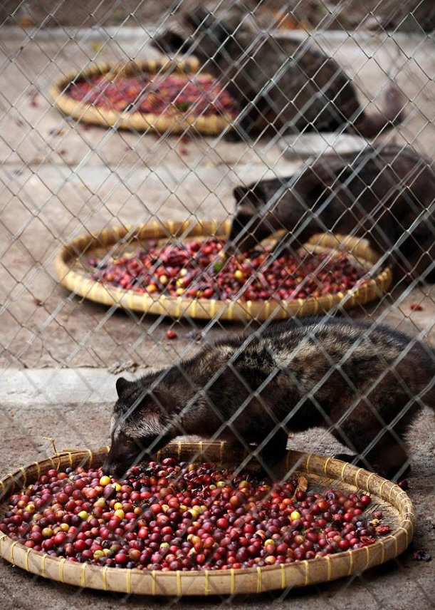 5) Coffee fruit laid out on trays to be eaten civet.  (Ulet Ifansasti / Getty Images)