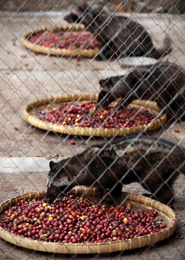 5) Кофейные плоды раскладывают на подносах для того, чтобы их съели циветты. (Ulet Ifansasti/Getty Images)