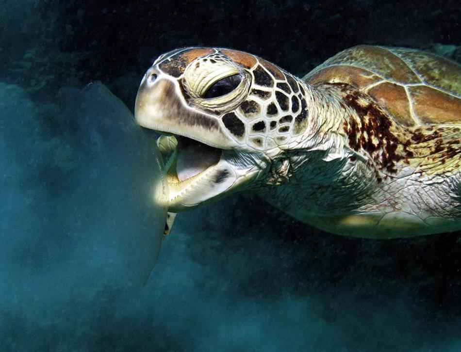5) Зеленая морская черепаха и лунная медуза в заливе Черепах, риф Норманн, Кэрнс, Куинслэнд, Австралия. Рассказывает фотограф Гари Бреннанд: «Зеленые черепахи находятся под угрозой вымирания, но несколько особей можно встретить на Большом Барьерном рифе. Я случайно наткнулся на эту черепаху, поедавшую лунную медузу. Рассчитать время, чтобы снять черепаху с открытым ртом было довольно трудно, потому что она на удивление быстро двигалась вокруг медузы, но спустя какое-то время я понял, что черепаха двигается в одной манере, и смог сделать нужный мне снимок». (Gary Brennand, Nature's Best Photography)
