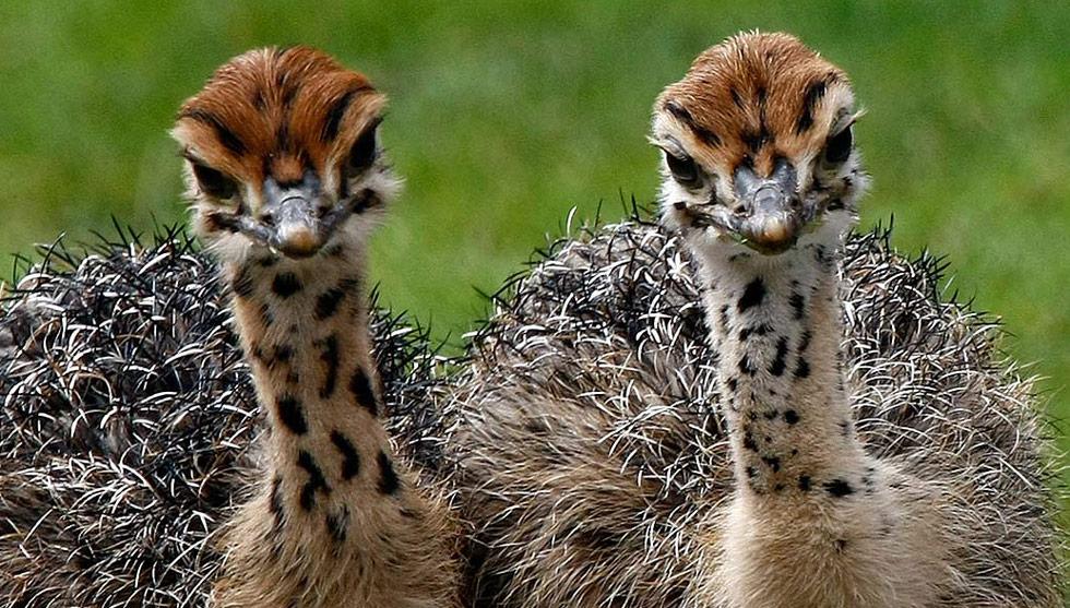 13) Новорожденные страусята гуляют в своем загоне в Берлинском зоопарке 7 июля. (Fabrizio Bensch/Reuters)