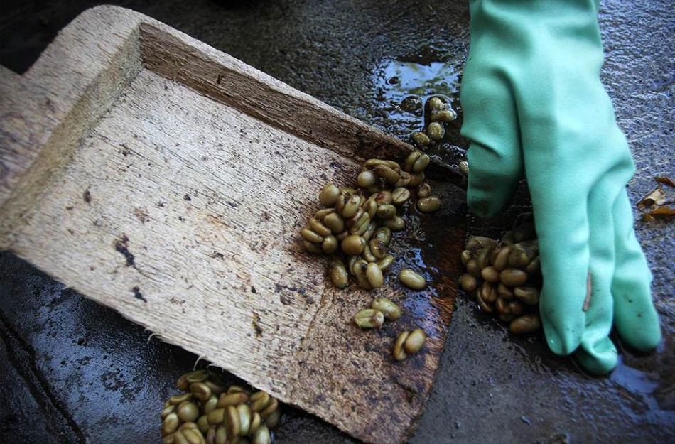 6) The workers collect the coffee beans are ready for final washing and drying.  (Ulet Ifansasti / Getty Images)
