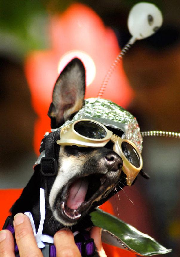 29) Собака по кличке Фрикаделька зевает в ожидании начала костюмированного шоу с участием животных в костюмах пришельцев в выставочном центре Розвелл, Нью-Мексико. Фрикаделька заняла второе место. (Mark Wilson, Roswell Daily Record /AP)
