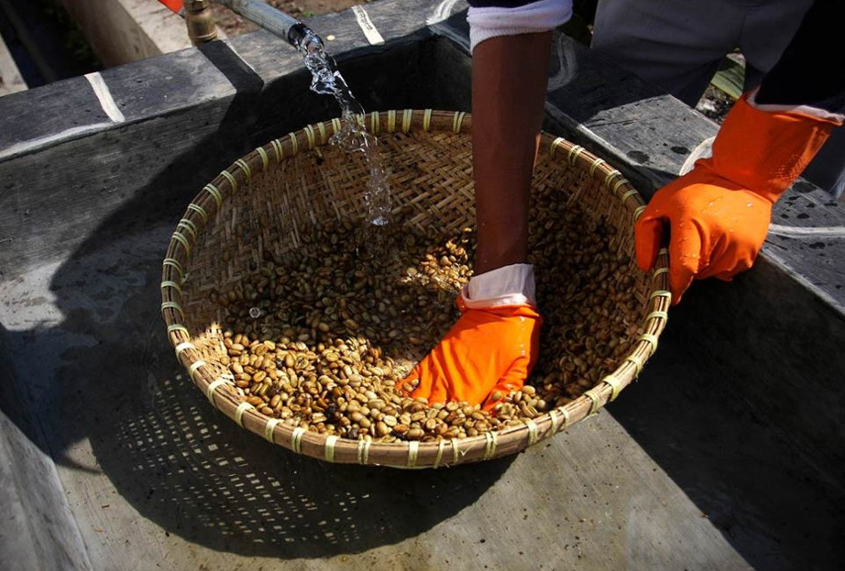 7) After the collection worker prepares the coffee beans, washing with water.  (Ulet Ifansasti / Getty Images)