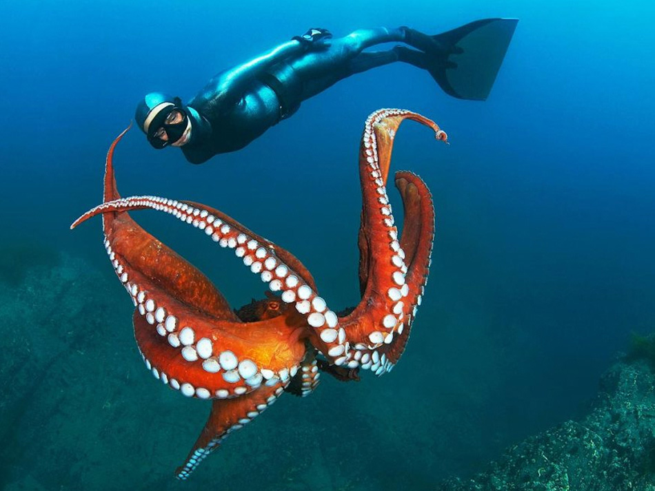 7) Огромный тихоокеанский осьминог в водах недалеко от Дальнегорска, Россия, Японское море. Рассказывает фотограф Марина Кохетова: «Привыкнув к какому-нибудь дайверу, осьминог может позволить ему подплыть достаточно близко, но для подходящего снимка у тебя есть лишь один шанс!» (Marina Kochetova, Nature's Best Photography)