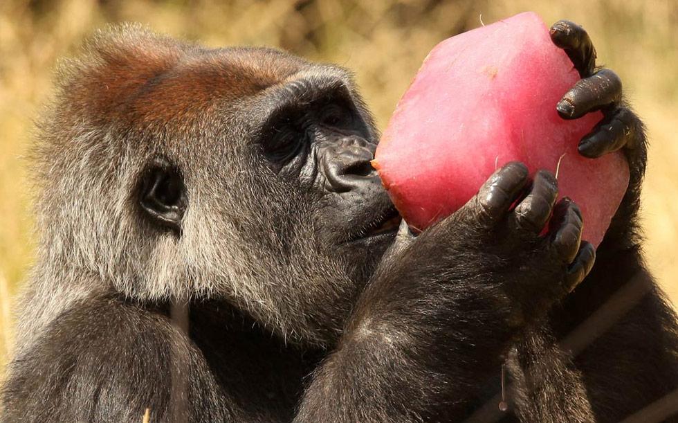 33) Эффи, самка гориллы, охлаждается с кусочком фруктового льда в загоне в Лондонском зоопарке 2 июля. (Oli Scarff/Getty Images)