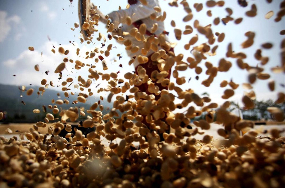 9) An employee sifts and leveling the coffee beans to dry before lightly fry them.  (Ulet Ifansasti / Getty Images)