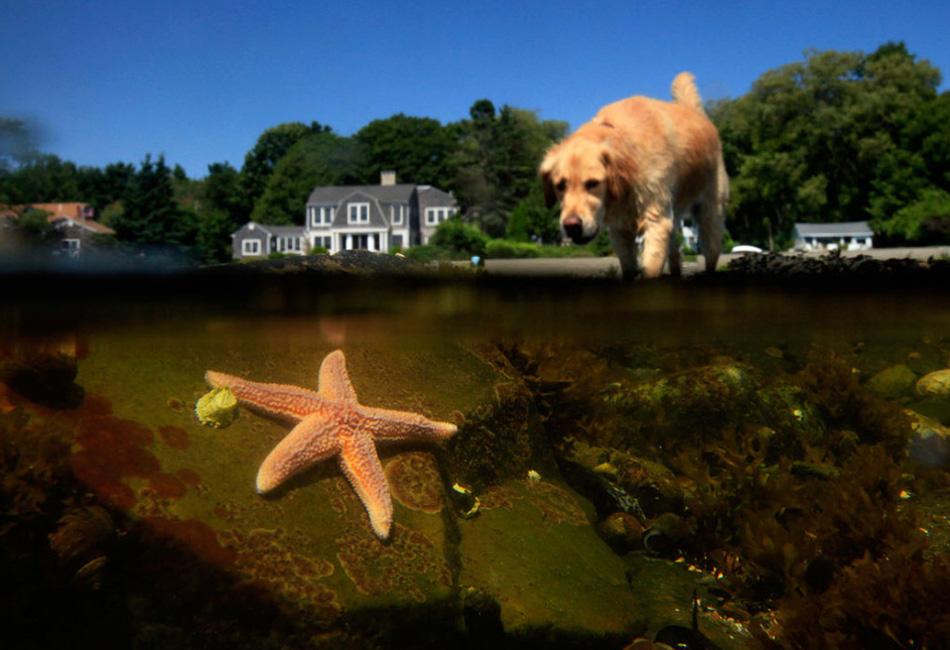 9. Золотистый ретривер входит в пруд 14 августа в бухте Коув, Кейп-Элизабет, штат Мэн. Бухта, являющаяся частью города Кейп-Элизабет, - это популярное место для исследования морской экосистемы во время отлива. (Robert F. Bukaty, AP)