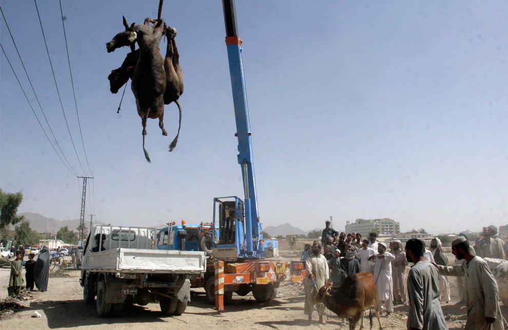 19. Кран поднимает туши двух коров недалеко от места взрыва бомбы во вторник, чтобы разделать их и отдать всем пострадавшим от взрыва в Кандагаре на юге Кабула, Афганистан, в четверг 27 августа 2009 года. (AP Photo/Allauddin Khan)