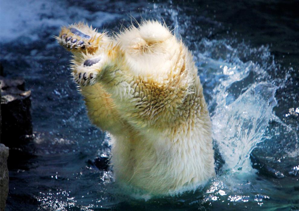 30) Рейко, самка полярного медведя, ныряет в воду в зоопарке Ueno в Токио, Япония, воскресенье, 26 июля 2009 (AP Photo/Itsuo Inouye)