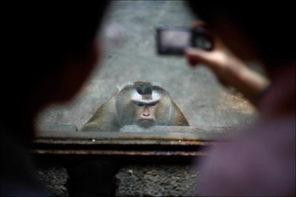 3. Обезьяна позирует перед камерами в зоопарке Пекина, в четверг 13 августа.  (AP/Elizabeth Dalziel)