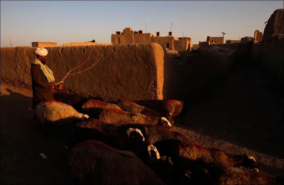 11. Чабан возвращается со своим стадом в конце дня в Герат, во вторник 18 августа.  (AP/Saurabh Das)