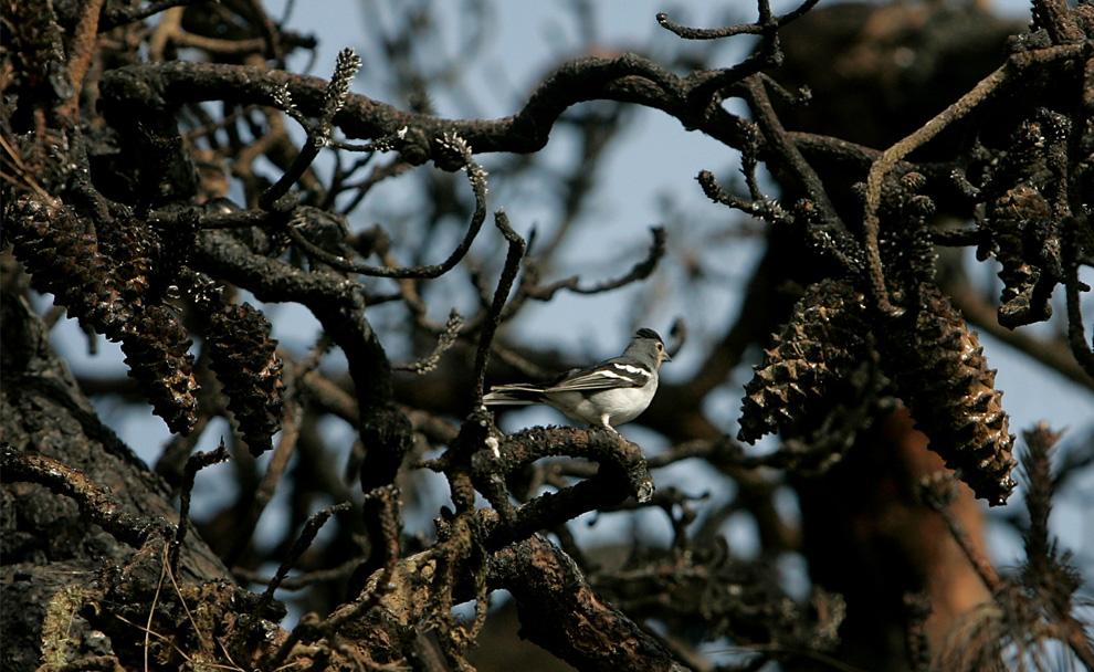 35. Птица отдыхает на обуглившейся ветке дерева после пожара на Канарском острове Ла Пальма 3 августа 2009 года. (DESIREE MARTIN/AFP/Getty Images)