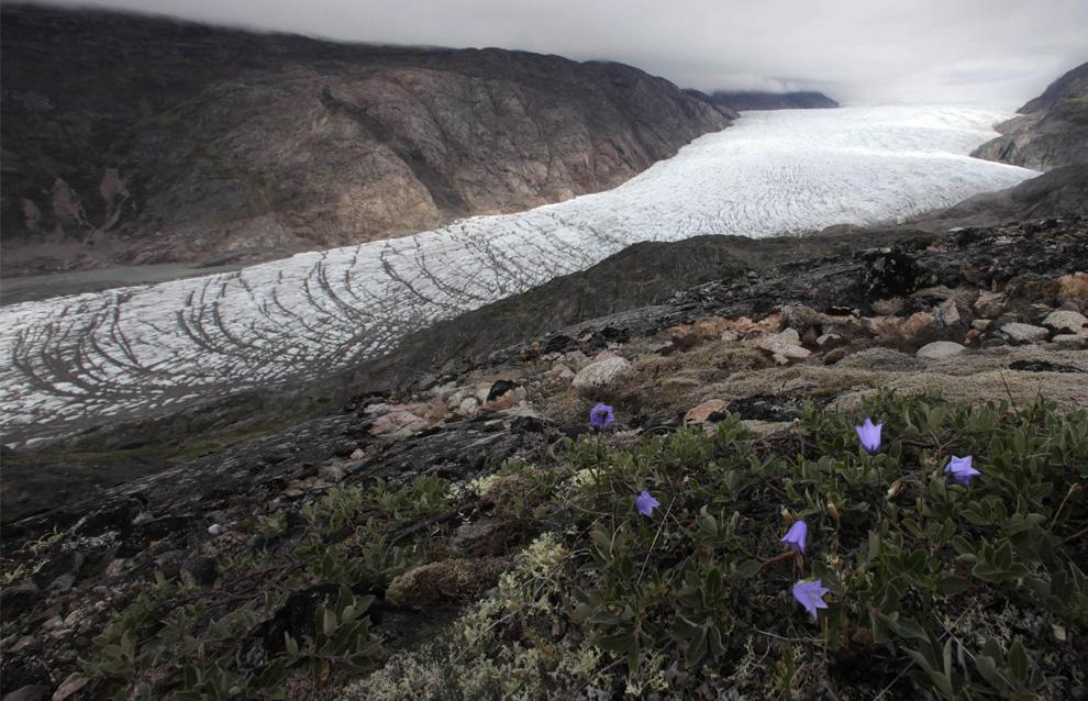 9. Полевые цветы растут на холме, выходящем на ледник Нарсарсуак в южной Гренландии 25 июля 2009 года. (REUTERS/Bob Strong)