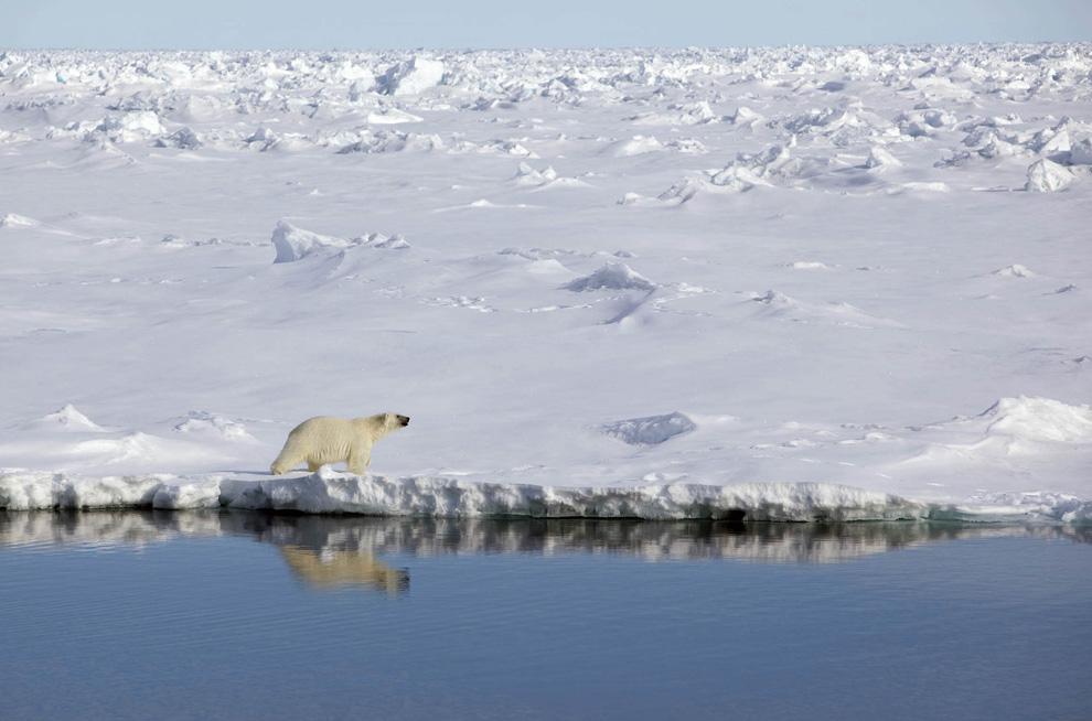 10. Полярный медведь идет вдоль ледяного берега канала Робесон между Гренландией и Канадой 29 июня 2009 года. Члены Гринпис и ведущие климатологи прибыли в Гренландию на 3 месяца на своем ледоколе «арктический рассвет», чтобы собрать необходимые данные по изменению климата для саммита, который состоится в Копенгагене в декабре 2009 года. (REUTERS/Nick Cobbing/Greenpeace)