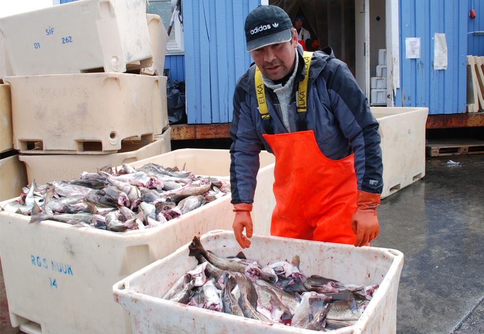 22. Снимок, сделанный 2 июля 2009 года: гренландский рыбак сортирует ночной улов в городе Сарфаннкуак, западная Гренландия. (Slim ALLAGUI/AFP/Getty Images)