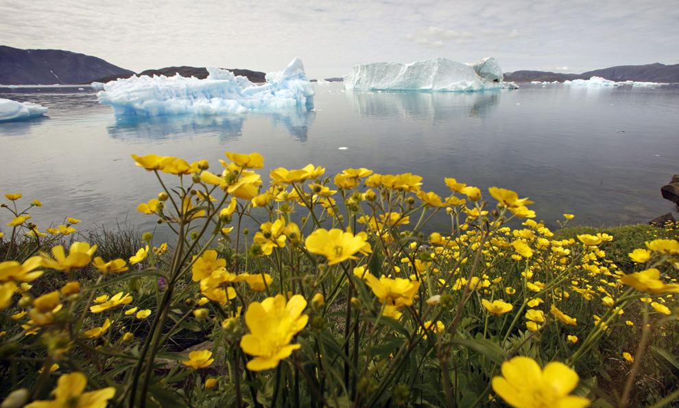 28. Дикие цветы на холме над заполненным айсбергами фьордом недалеко от южного гренландского города Нарсак 27 июля 2009 года. (REUTERS/Bob Strong)