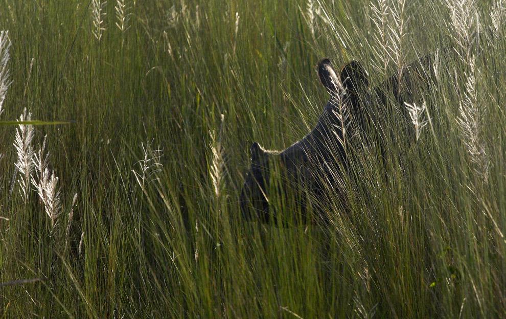 3) Носорог, заблудившийся в деревне Кальчени примерно в 130 километрах (81 миля) к западу от города Гаухати, Индия в воскресенье 14 сентября 2008, прячется от представителей общества дикой природы. Более сотни защитников дикой природы отслеживали животное благодаря его радио-ошейнику; носорог сбежал из национального парка Манас штата Ассам 1 сентября, однако поймать его смогли только в воскресенье, так как опасались, что если выстрелить в него снотворным в болотистых местностях, животное может утонуть.