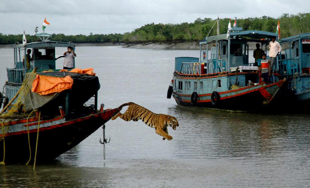 19) Лесорубы наблюдают, как королевский бенгальский тигр прыгает с лодки в воду, после того, как его выпустили на свободу в лесном округе Чамта, Индия, 4 сентября 2008 года. Спустя некоторое время после спасения тигра из близлежащей деревни, ветеринары заключили, что он готов для возвращения в естественную среду обитания.