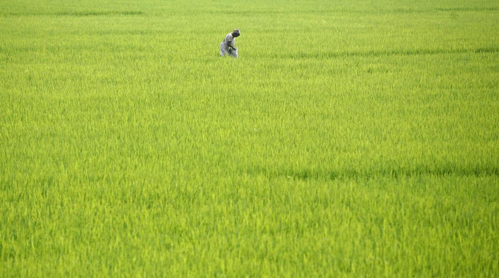 28) Женщина работает на рисовом поле неподалеку от Сингура, примерно в 50 километрах (31 миля) от севера восточного города Калькутта 27 августа 2008 года.