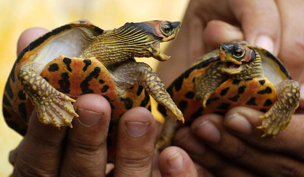29) Активисты организации «Люди для животных» держат двух карликовых черепах, которые были спасены в Гувахати 18 сентября 2008 года. Позднее эту пару отпустили в пруд Дигналипухури в Гувахати, столице северо-восточного штата Индии Ассам.